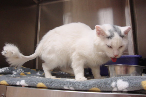 Olaf the rescue cat. At the vets. Contact Oasis Animal Rescue to donate