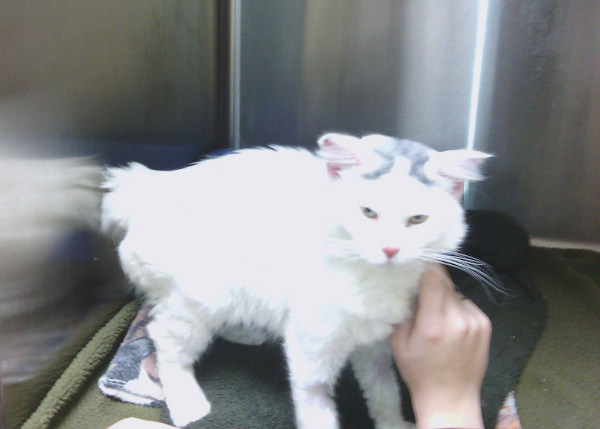 Olaf. Rescue cat in recovery. Oasis Animal Rescue