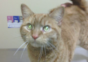 Quincy. Cat For Adoption at Oasis Animal Rescue