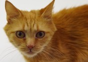 Angelicat. Cat for adoption Oasis Animal Rescue