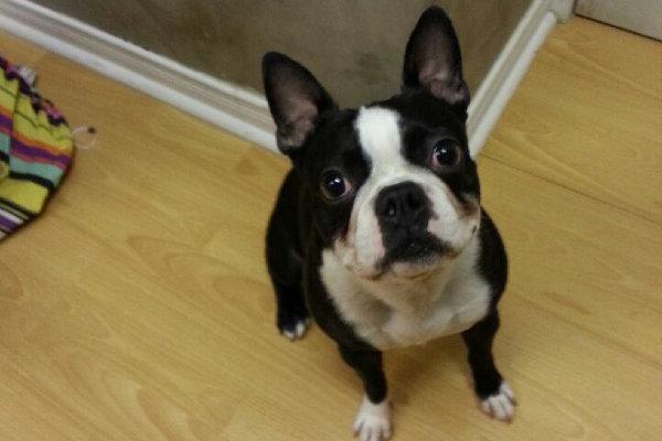 Nitro. A Boston Terrier for adoption. Oasis Animal Rescue.