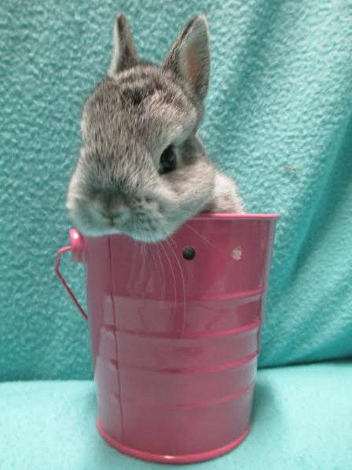 Bunny rabbit for adoption. Oasis Animal Rescue, Oshawa.