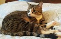 Cat Milo seeks foster home. Oasis Animal Rescue, Oshawa
