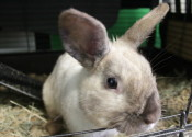 Cottontail. Rabbit for adoption at Oasis Animal Rescue