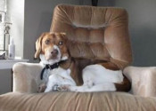 Jax. Beagle Mix Dog for adoption. Oasis Animal Rescue
