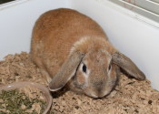 Slopsy. A rabbit for adoption at Oasis Animal Rescue