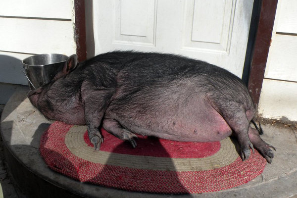 Pot Belly Pig named Molly. Oasis Animal Rescue