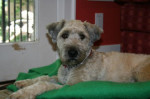 Maple. A Welsh Terrier, Poodle mix dog for adoption. Oasis Animal Rescue, Durham Region, ON
