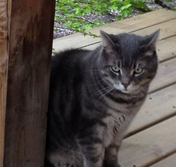Kit-Kat. An adoptable cat at Oasis Animal Rescue, Oshawa, Durham Region