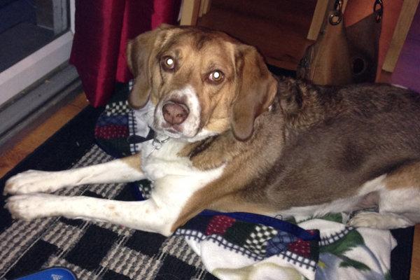 Jax. A beagle mix dog for adoption. Oasis Animal Rescue