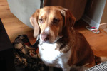 Jax. Playful Beagle Mix Finds Perfect New Home