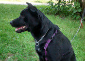 Jessie. Lab cross dog for adoption. Oasis Animal Rescue