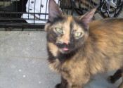 Meme. Friendly Tortoise Shell Cat Seeks Forever Home