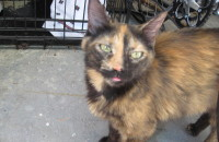 Meme. A tortoise shell cat for adoption. Oasis Animal Rescue