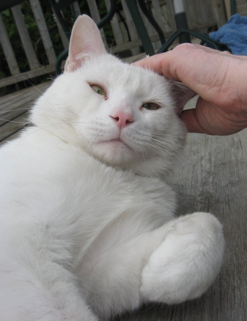 Whitey. A cat for adoption at Oasis Animal Rescue, Durham Region