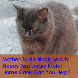 Black Beauty. Cat Urgently Needs Foster Care