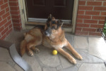 Simba. Perfect New Home Found For Sweetest German Shepherd