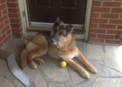 Simba. German Shepherd Dog for adoption. Oasis Animal Rescue