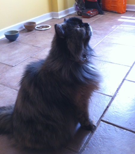 Aura. Cat for adoption. Oasis Animal Rescue