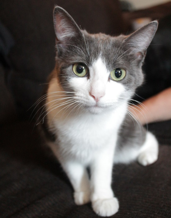 Tiger Lily. A cat for adoption at Oasis Animal Rescue, Durham Region