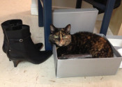 Betty-Lou. A tortoiseshell cat for adoption. Oasis Animal Rescue
