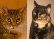 Deemo And Peanut. Cats for adoption - Oasis Animal Rescue, Durham Region