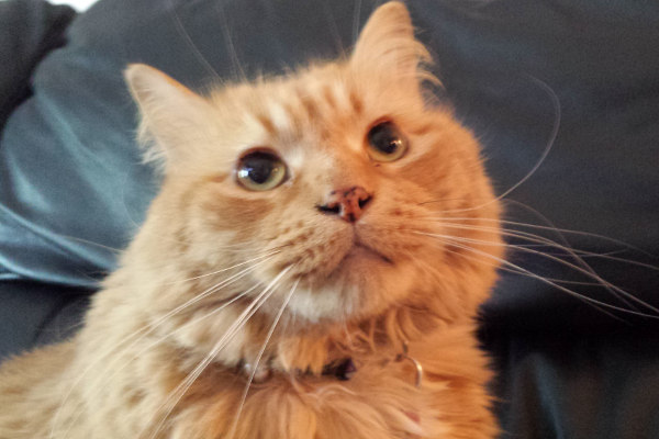 Pumpkin. cat for adoption at Oasis Animal Rescue