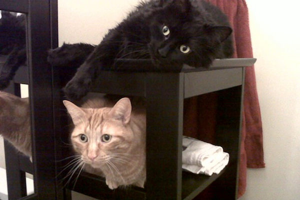 Simon and Steven. Best friend cats for adoption.