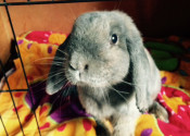 Daisy. Lop-Eared Rabbit for Adoption. Oasis Animal Rescue, ON