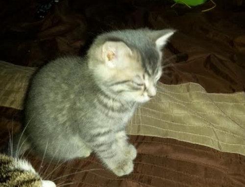 Reese. Kitten for adoption
