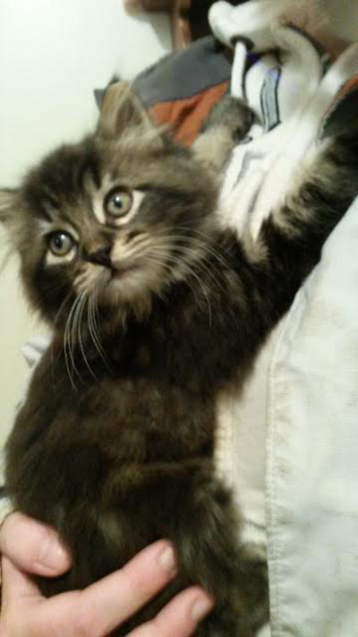 Felix. Playful kitten for adoption. Oasis Animal Rescue
