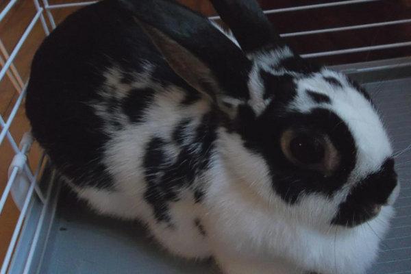 Dakota. Rabbit for adoption. Oasis Animal Rescue