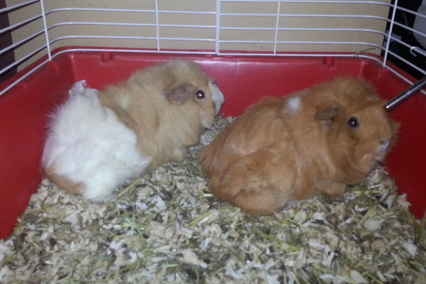 Sandy and Luna. Guinea Pigs for adoption. Oasis Animal Rescue