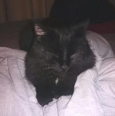 Felix. Cat for adoption. Contact Oasis Animal Rescue, Durham Region