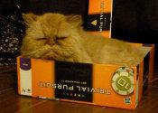 Orange Cat. A cat for adoption at Oasis Animal Rescue. Oshawa, Durham Region
