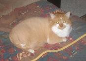 Peach. A cat for adoption at Oasis Animal Rescue, Durham Region