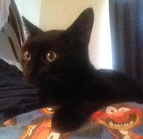 Raven. Oasis Animal Rescue, Cat for adoption