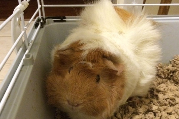 Chika. Guinea Pig for adoption