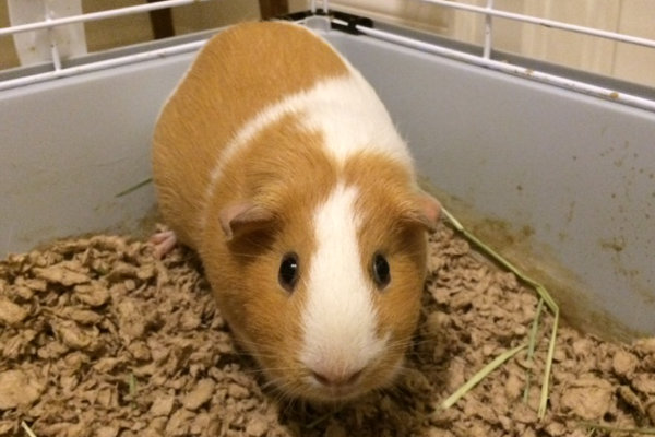 Daisy. Guinea Pig for adoption.