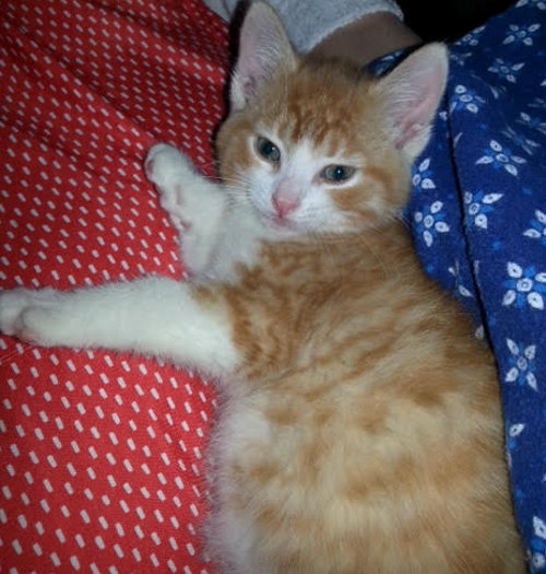 Blaze. Orange and White kitten for adoption