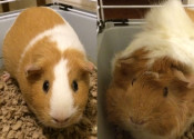 Chika and Daisy. Guinea pigs for adoption