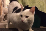 Gabriel. Gentle Cat Rescued From Streets, Seeks New Home