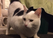 Gabriel - a cat for adoption at Oasis Animal Rescue
