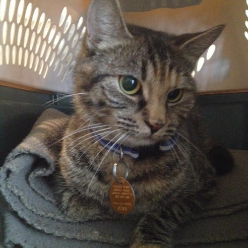 Molly. A cat for adoption. Contact Oasis Animal Rescue Durham Region
