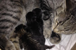 Rachel Has Delivered Four Kittens Overnight January 24/25