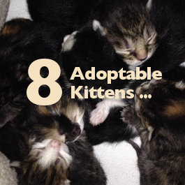 Button's kittens for adoption. Oasis Animal Rescue, Durham Region, ON