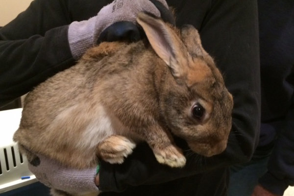 Rabbit for adoption. Durham Region Ontario