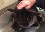 Bobby. Baby Rabbit for adoption. Oshawa