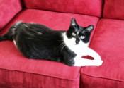 Cat for adoption named Fleagle. Oasis Animal Rescue, Durham Region
