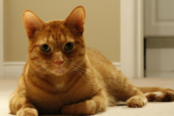 Malcolm. A cat for adoption at oasisanimalrescue.ca